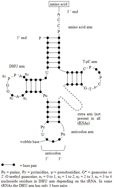 的tRNA的二维结构(转运RNA)