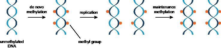 这两种类型的DNA甲基化的
