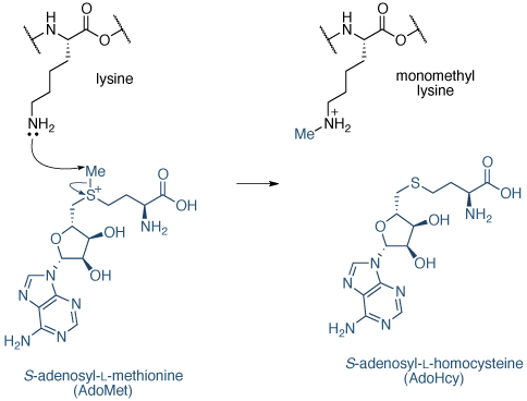 赖氨酸甲基机制