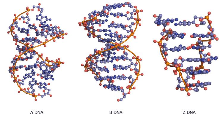 的A-DNA,B-DNA和Z-DNA的三维结构